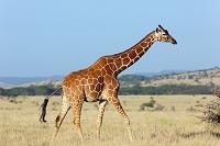 南アフリカ共和国 キリン