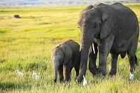 アフリカ アフリカゾウ