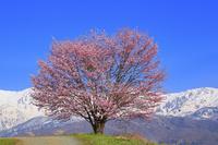 長野県 野平の一本桜と残雪の白馬連峰