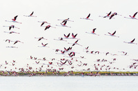 オオフラミンゴの群れ