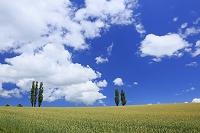 北海道 小麦畑とポプラ