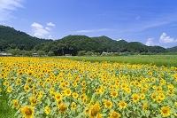 兵庫県 丹波市 柚遊農園 ひまわり畑