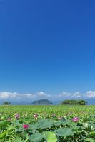 滋賀県 ハスの花と琵琶湖