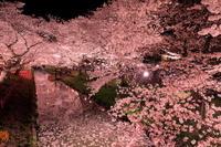 埼玉県 新河岸川の夜桜