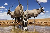 ナミビア NamibRand ネイチャー・リザーブ オリックス