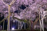 茨城県 龍ケ崎市 般若院の枝垂れ桜 ライトアップ