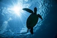 久米島 アオウミガメのシルエット