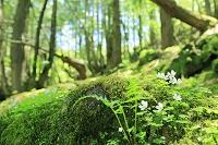 原生林とコミヤマカタバミの花
