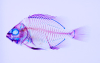 イシダイ 透明骨格標本