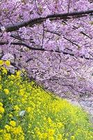 静岡県 菜の花と河津桜