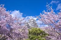 兵庫県 姫路城 桜