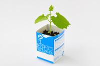 ツルレイシ 牛乳パックを利用した育苗の様子 5/7 子葉と本葉の成長