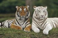インド 色が異なる2頭のベンガルトラ