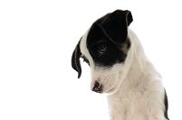 フォックステリアの子犬
