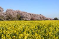 埼玉県 権現堂堤の桜