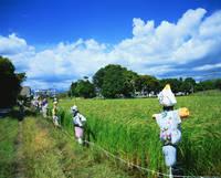 静岡県 登呂遺跡・赤米の復元水田