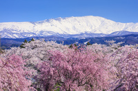 山形県 馬渡川桜並木と月山
