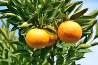 カリフォルニア州 オレンジ果樹園