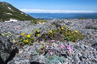 岐阜県 大黒岳のコマクサとシナノキンバイ