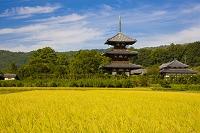 奈良県 実る稲穂と法起寺