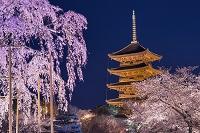 京都府 しだれ桜と五重塔