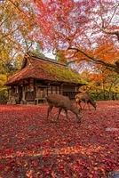 奈良県 紅葉の奈良公園 水谷茶屋と鹿