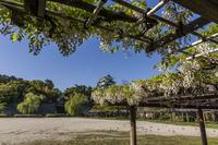 名古屋城と藤