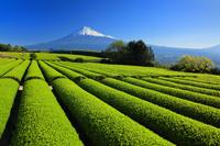 静岡県 一番茶の茶畑と富士山