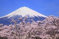 静岡県 大石寺 富士山と桜