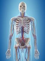 人体 血管