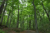 青森県 白神山地 ブナ林の新緑