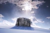 北海道 マイルドセブンの木(奥のマイルドセブンの丘)