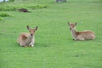 金華山 三陸復興国立公園のニホンジカ