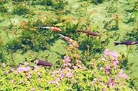 岐阜県 根道神社の池(通称モネの池)