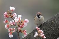 スズメ 桜にとまる