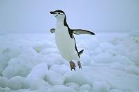 南極 ジャンプするアゴヒゲペンギン