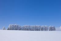 北海道 霧氷のマイルドセブンの丘 カラマツの霧氷