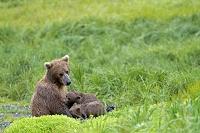 アラスカ ハイイログマ