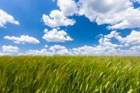 ブルガリア シュメン近郊 麦畑