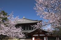 奈良県 桜と大仏殿