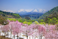 山形県 オオヤマザクラと月山