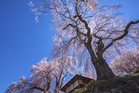 長野県 勝間堂しだれ桜