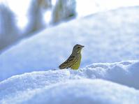 豪雪の小鳥