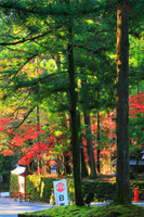 栃木県 日光東照宮参道の紅葉