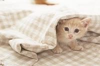 布から顔を出す子猫