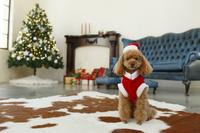 クリスマスツリーのあるリビングとクリスマスの格好のトイプード...