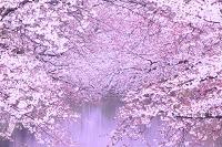 青森県 弘前公園 外濠の桜
