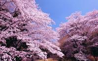桜 春爛漫 泉自然公園