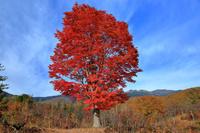 長野県 乗鞍高原の大カエデ
