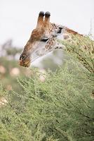 ボツワナ モレミ野生動物保護区 キリン